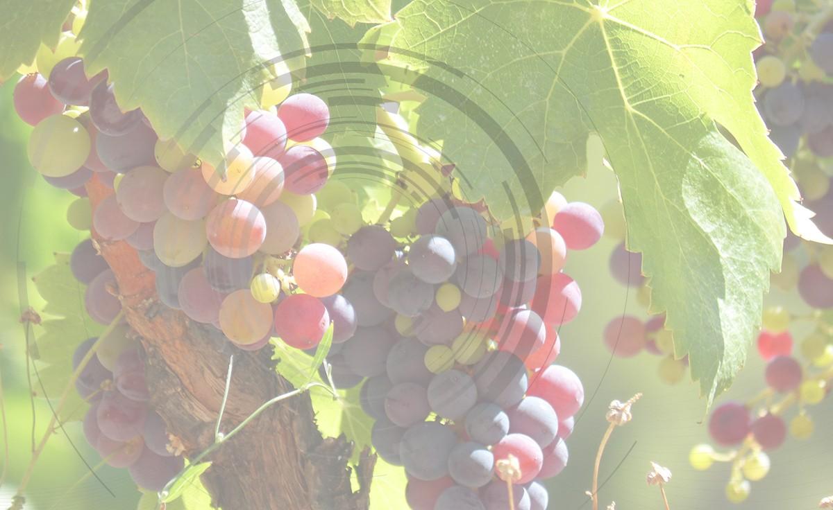 Viktor csemegeszőlő